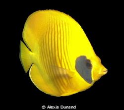 Yellow butterfly-fish Chaetodon semilarvatus by Alexia Dunand 
